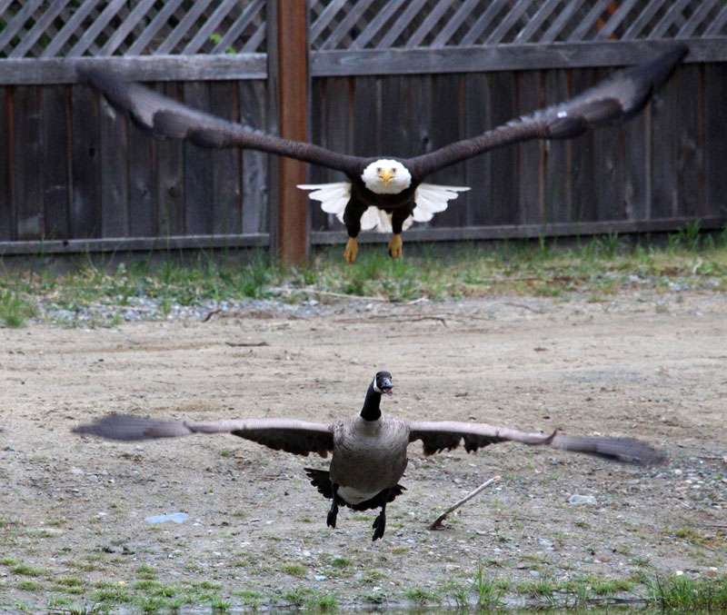 Canada Goose mens outlet store - A Bald Eagle and Canada Goose Squared Off and Someone Caught It ...