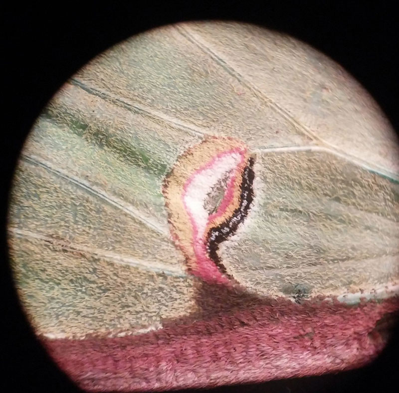 luna moth wing under a microscope (2)