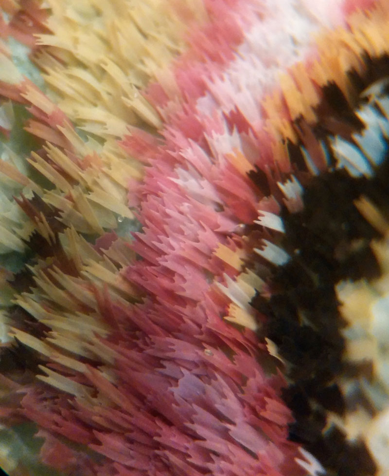 luna moth wing under a microscope (4)