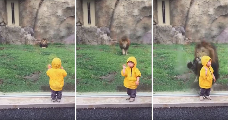 Never Turn Your Back on a Lion— Or Any Big Cat For That Matter
