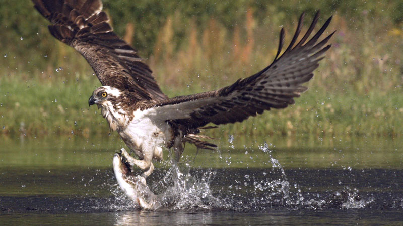 Osprey swoops in to catch trout in super slow motion for Osprey catching fish