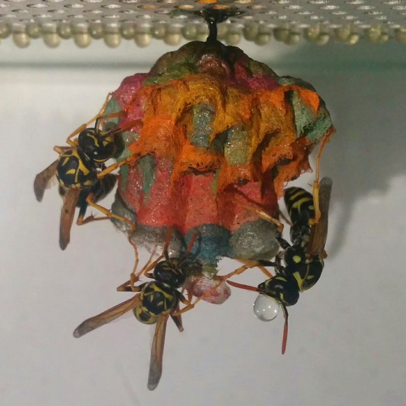 wasps use colored paper to make rainbow colored nests (10)