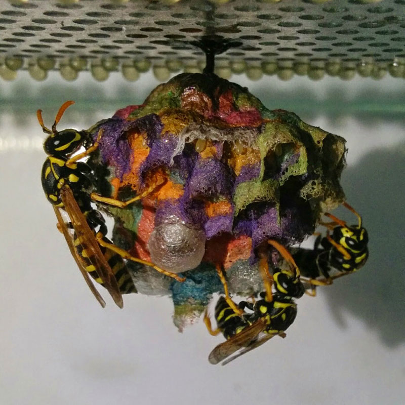 wasps use colored paper to make rainbow colored nests (11)