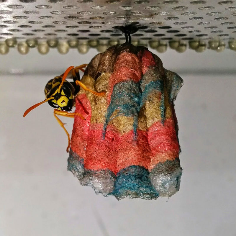 wasps use colored paper to make rainbow colored nests (3)