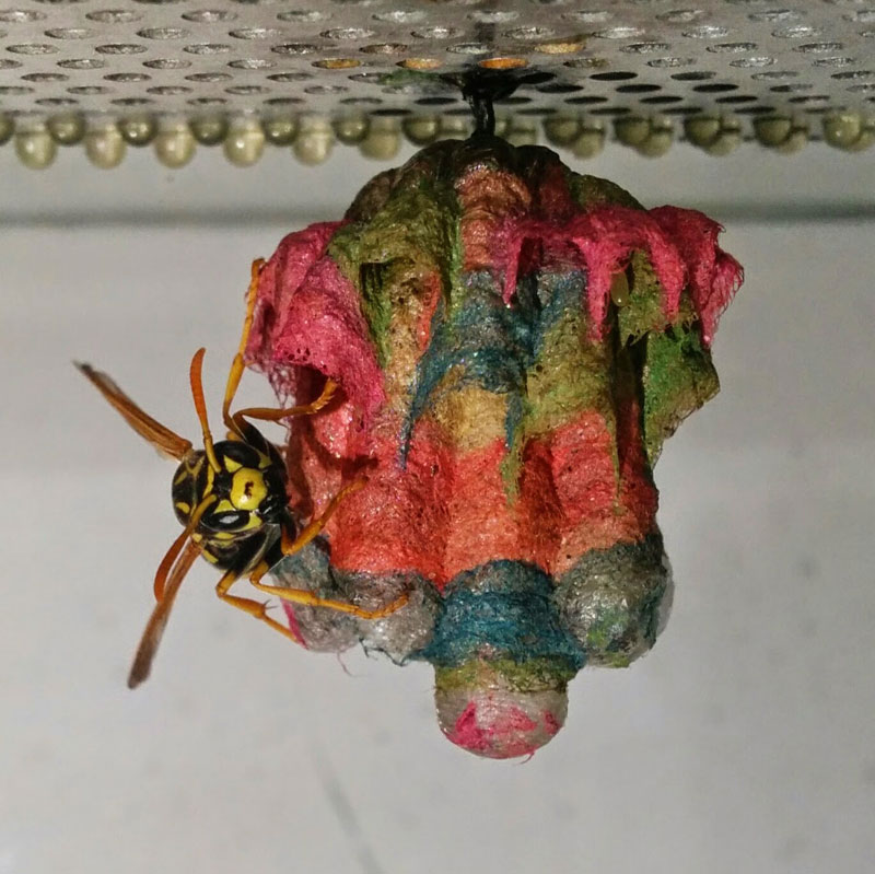 wasps use colored paper to make rainbow colored nests (6)