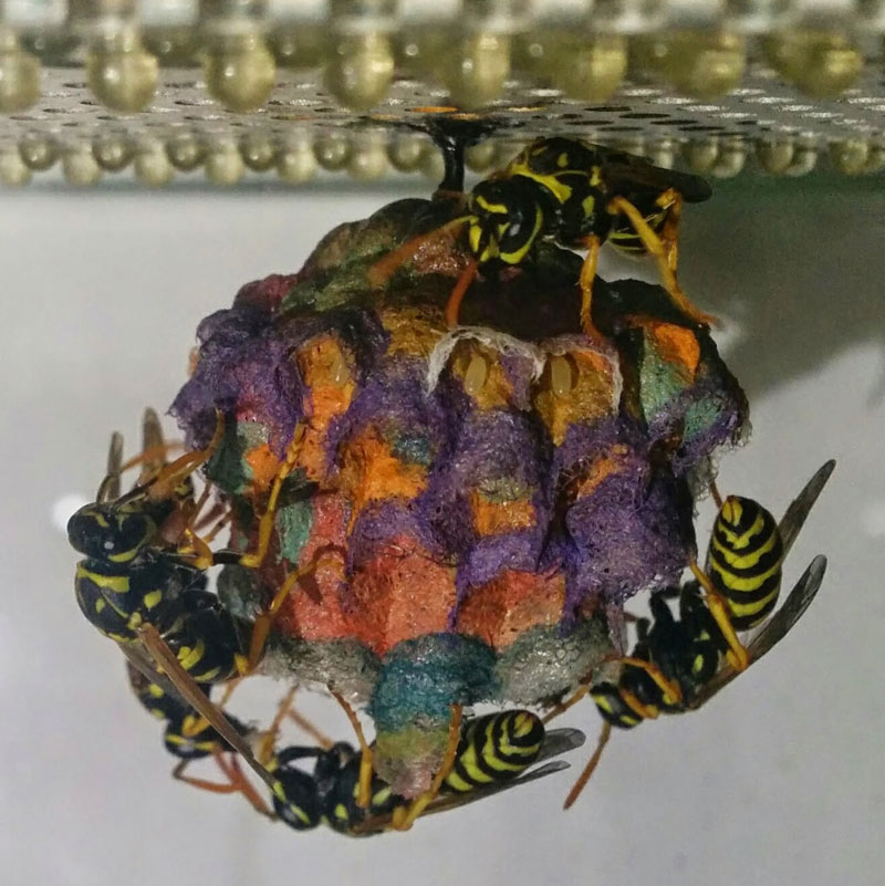 wasps use colored paper to make rainbow colored nests (7)