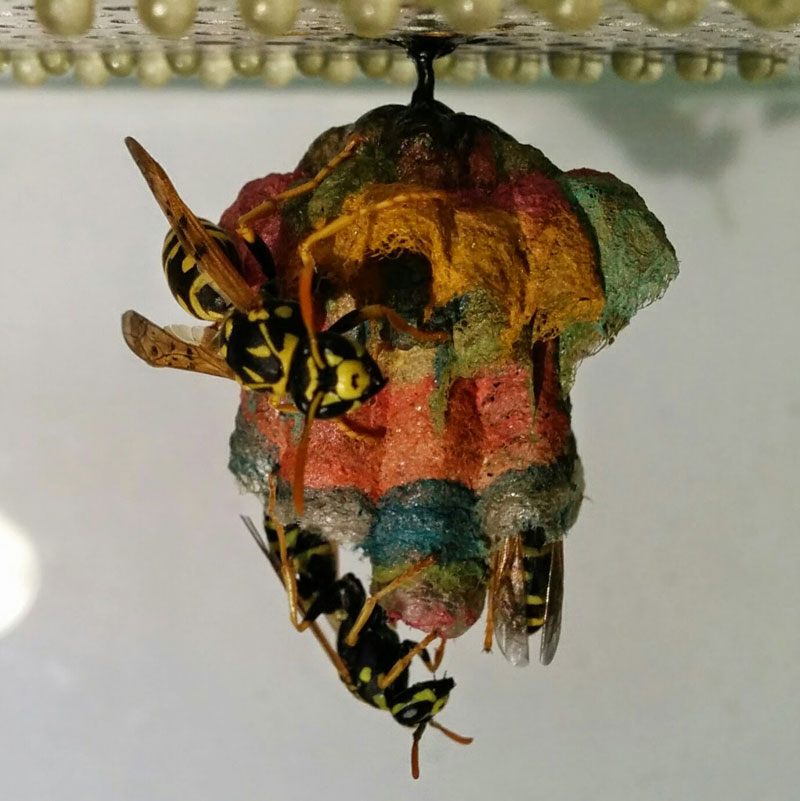 wasps use colored paper to make rainbow colored nests (8)
