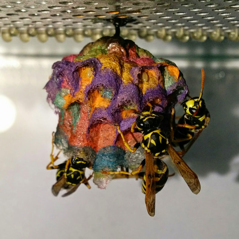 wasps use colored paper to make rainbow colored nests (9)