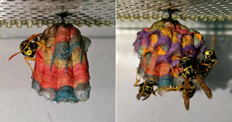 If Wasps Find Colored Paper They'll Make Rainbow-Colored Nests