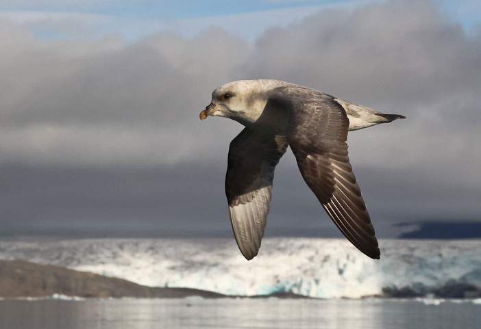 northern fulmar This Arctic Island Sanctuary is Ringed by Cliffs and Home to 400,000 Breeding Birds