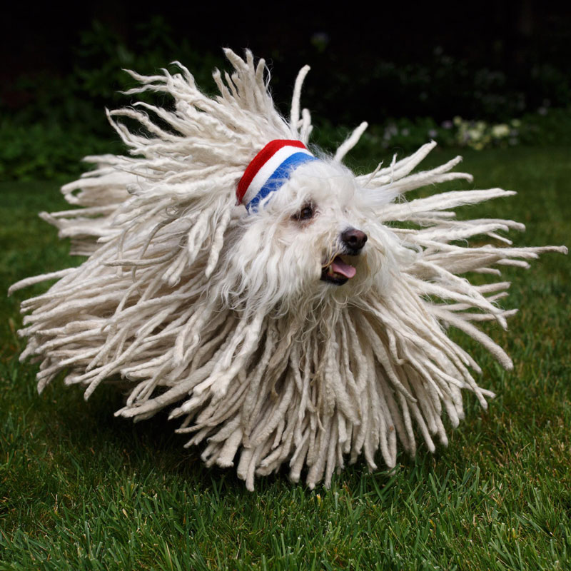 Not sure if dog or mop hungarian puli mark zuckerberg dog picture of