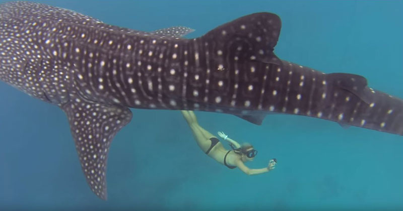 swimming-with-whale-sharks-ocean-ramsey