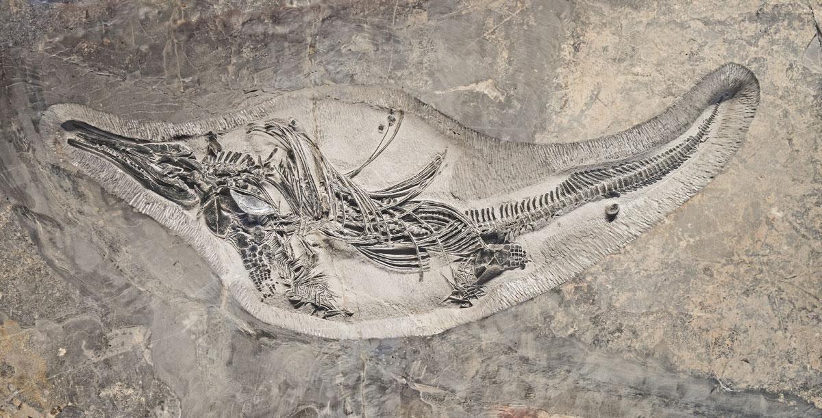 Barracudasauroides_panxianensis_china-dinosaur-fossil