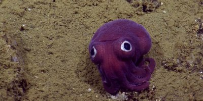 This Might Be the Cutest Squid in theOcean