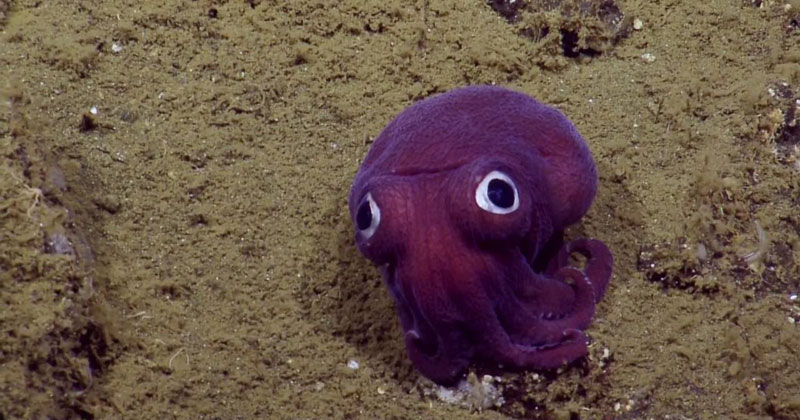 This Might Be the Cutest Squid in the Ocean