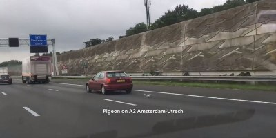 Pigeon Uses Slipstreams to Race Cars on the Highway at 100km/h