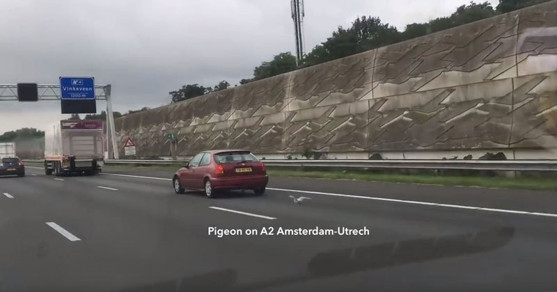 Pigeon Uses Slipstreams to Race Cars on the Highway at 100 km/h