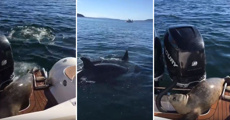 seal-jumps-on-boat-to-escape-orcas-video