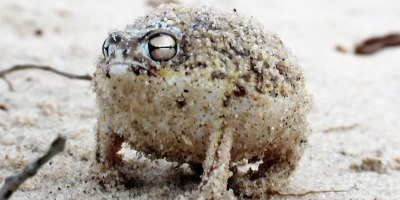 Angry Desert Frog's War Cry is Absolutely Terrifying