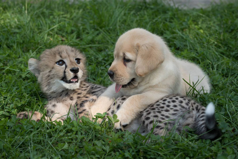 cheetah cub and puppy Picture of the Day: Just a Cheetah Cub and a Puppy