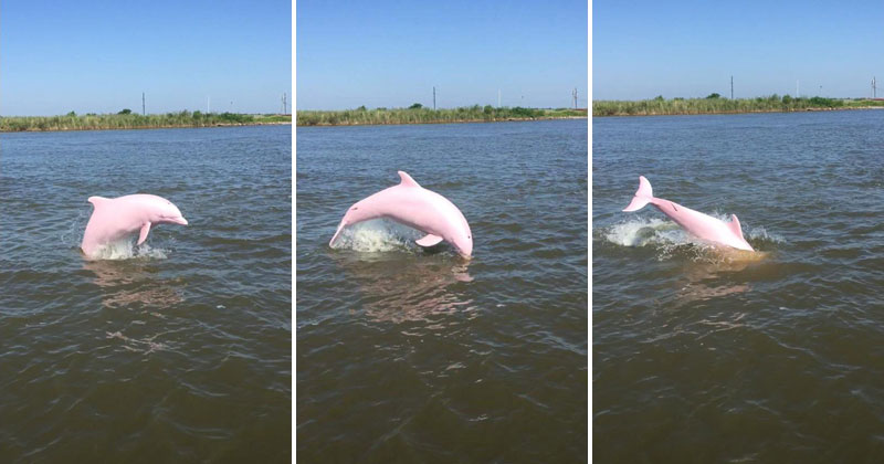 pinkie pink dolphin lake calcasieu louisiana reddit sloshyjacob 1 Rare Pink Dolphin Spotted in Lake Calcasieu, Louisiana