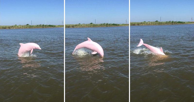 pinkie pink dolphin lake calcasieu louisiana reddit sloshyjacob 1 Rare Pink Dolphin Spotted in Lake Calcasieu, Louisiana