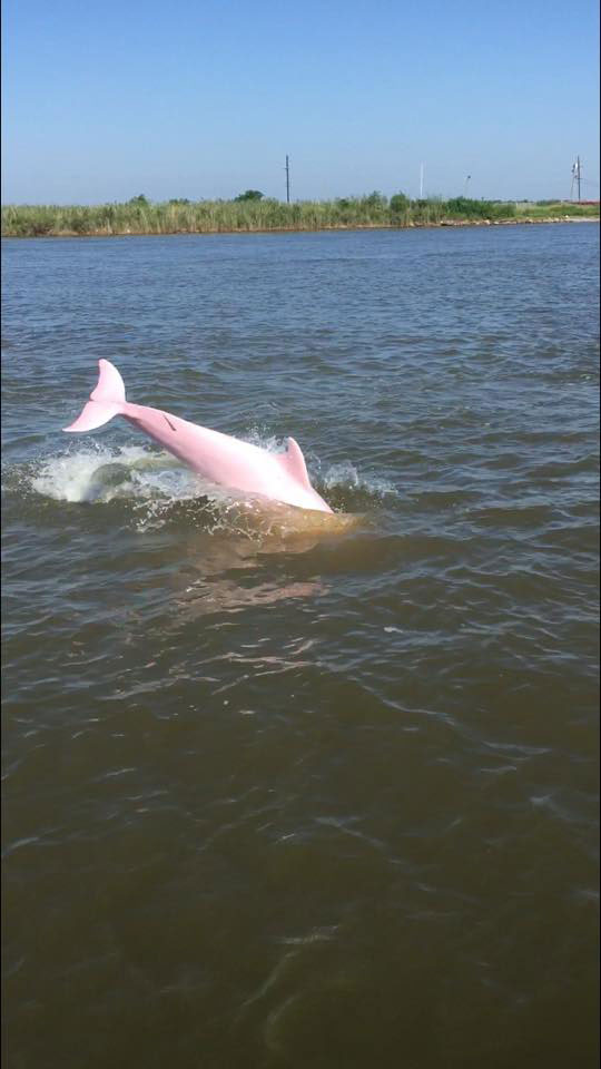 pinkie pink dolphin lake calcasieu louisiana reddit sloshyjacob 3 Rare Pink Dolphin Spotted in Lake Calcasieu, Louisiana