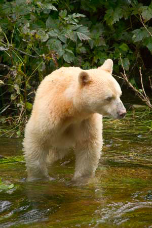 white fur black bear spirit kermode bear 1 10 Things You Didnt Know About the Rare and Elusive Spirit Bear