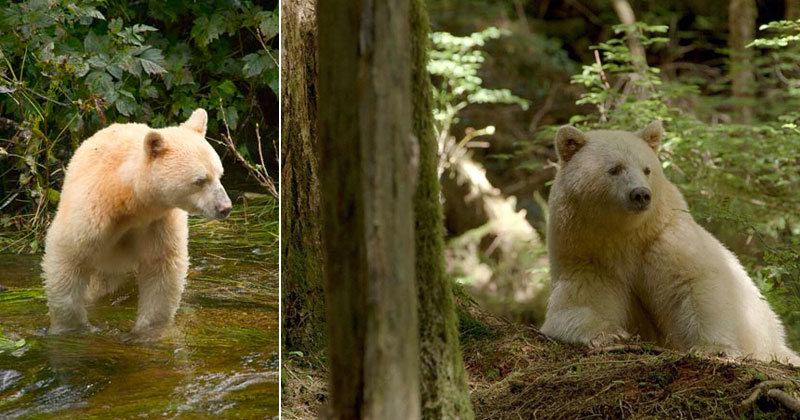 white fur black bear spirit kermode bear 2 10 Things You Didnt Know About the Rare and Elusive Spirit Bear