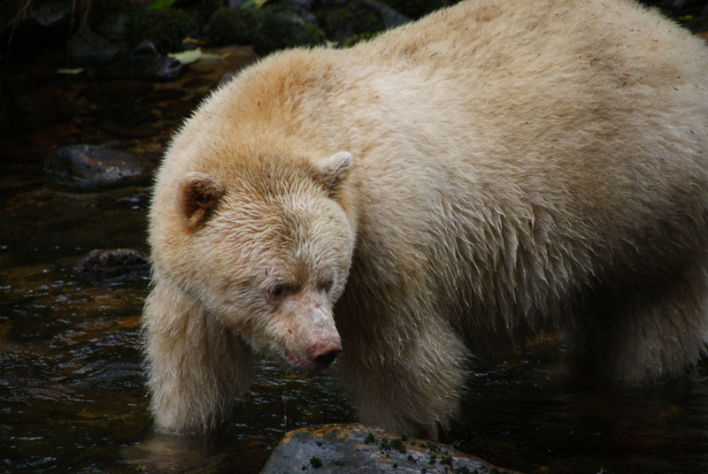 white fur black bear spirit kermode bear 4 10 Things You Didnt Know About the Rare and Elusive Spirit Bear