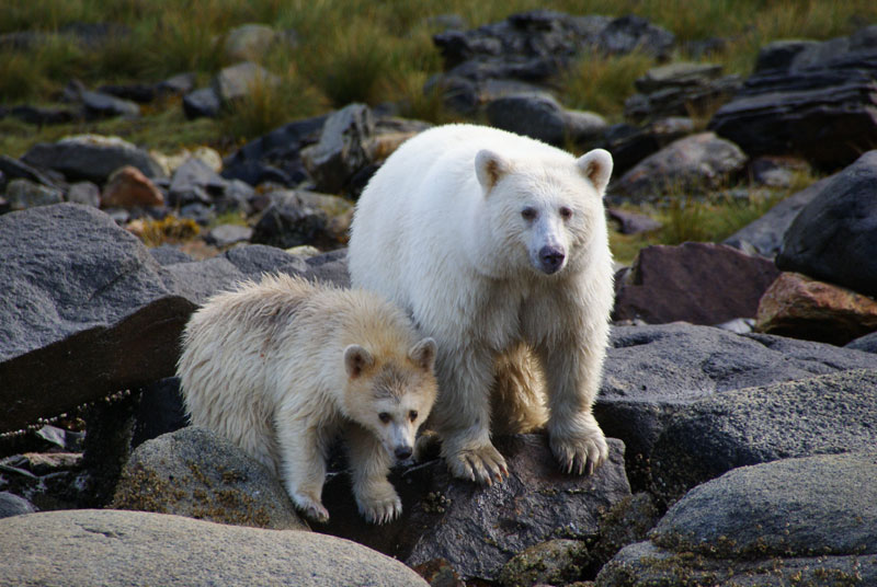 white fur black bear spirit kermode bear 5 10 Things You Didnt Know About the Rare and Elusive Spirit Bear