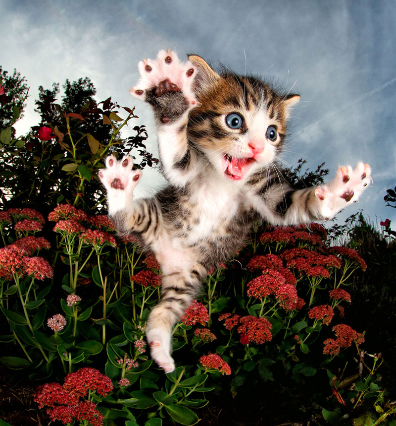chicken flowers low Just a Gallery of Kittens Mid Pounce