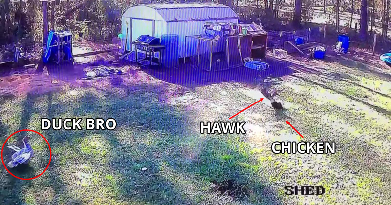 duck bro saves chicken from hawk Felix the Duck Saves His Chicken Friend from a Preying Hawk