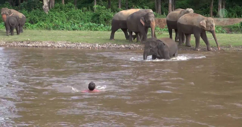 Elephant Rushes Into Water to Save Person She Thinks IsDrowning