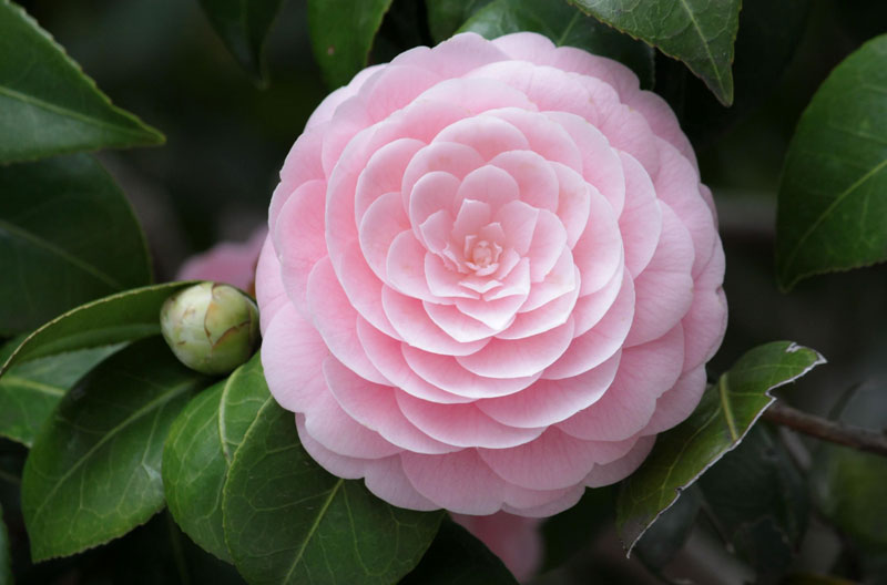 perfect camellia flower close up Picture of the Day: Pink Perfection