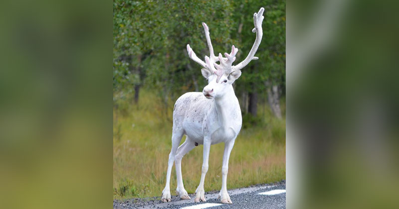 Picture of the Day: Rare White Reindeer Spotted in Mala,Sweden