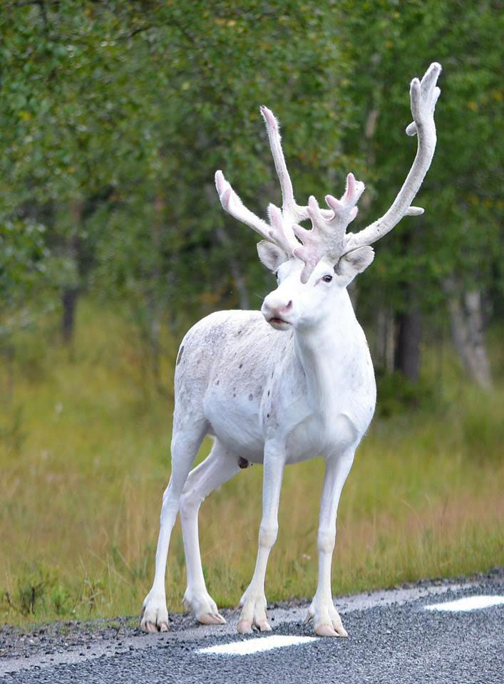Picture of the Day Rare White Reindeer Spotted in Mala Sweden