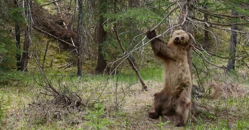 This Compilation of Bears Using Trees to Scratch Their Backs has the Perfect Soundtrack