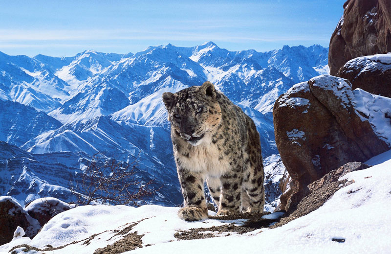 Rare Footage of the Elusive Snow Leopards of the Himalayas