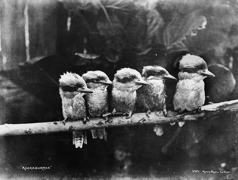 Picture of the Day: Kookaburras, circa 1900