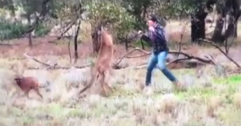 guy-saves-dog-from-kangaroo-by-punching-it-in-the-face