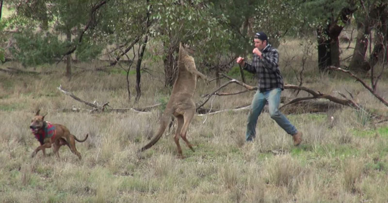 Guy Saves Dog By Punching Kangaroo in the Face