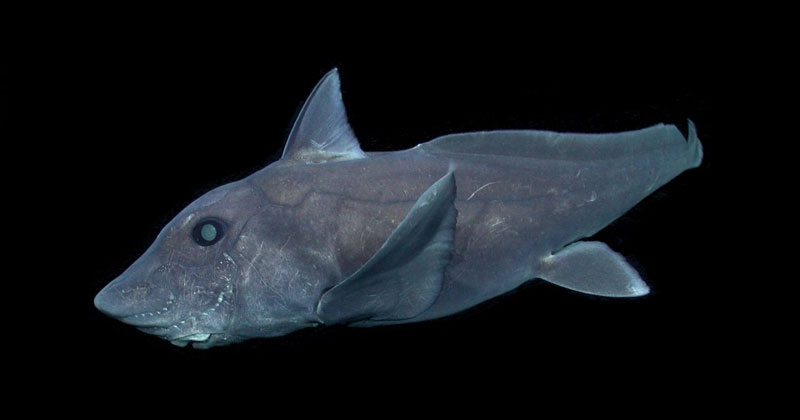 Rare Deep-Sea Ghost Shark Observed for First Time Ever in NaturalHabitat