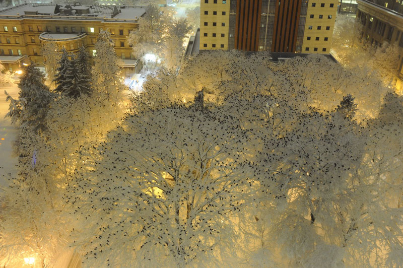crows on snowy tree walker berg portland pd Picture of the Day: Crows on Snow