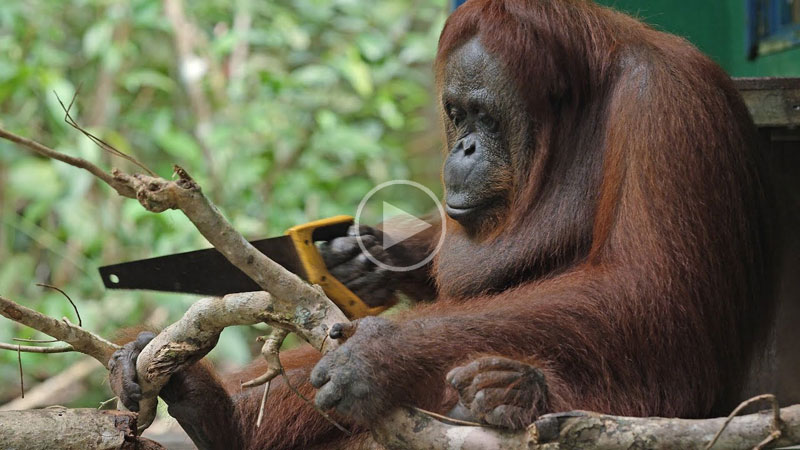 Just a Wild Orangutan Using a Saw