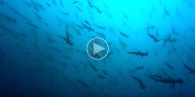 Just a Few Thousand Sharks Visiting a Sea Mount in the Pacific