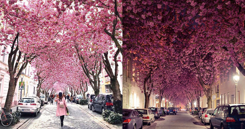 The Incredible Cherry Blossom Tunnels in the Old Town of Bonn,Germany
