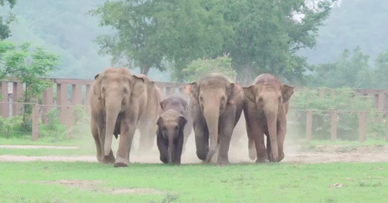Excited Herd Rushes to Meet New Baby Elephant That Was JustRescued