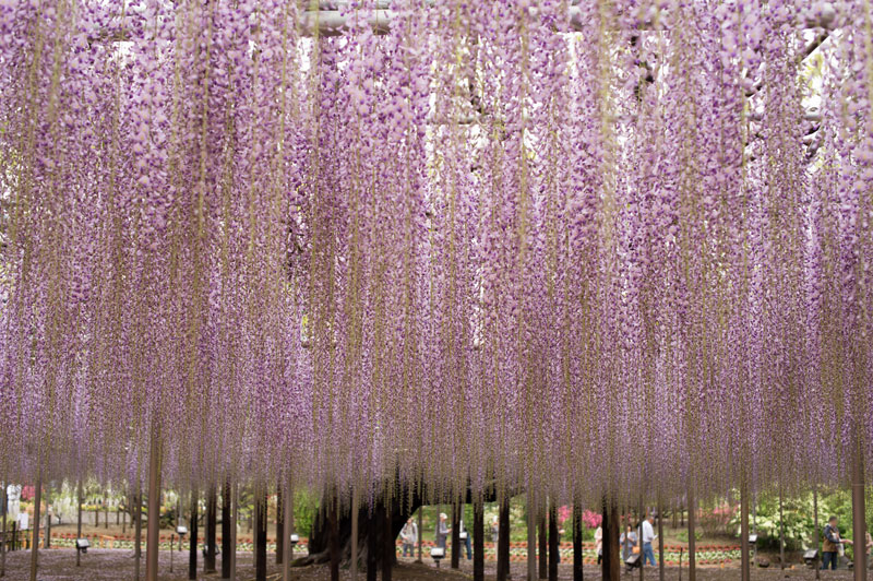 giant wisteria ashikaga flower park japan 2 The 100+ Year Old Wisteria at Japans Ashikaga Flower Park is Incredible