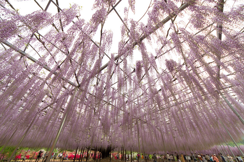 giant wisteria ashikaga flower park japan 3 The 100+ Year Old Wisteria at Japans Ashikaga Flower Park is Incredible